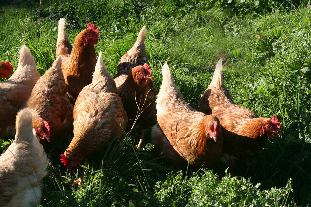 Our laying hens