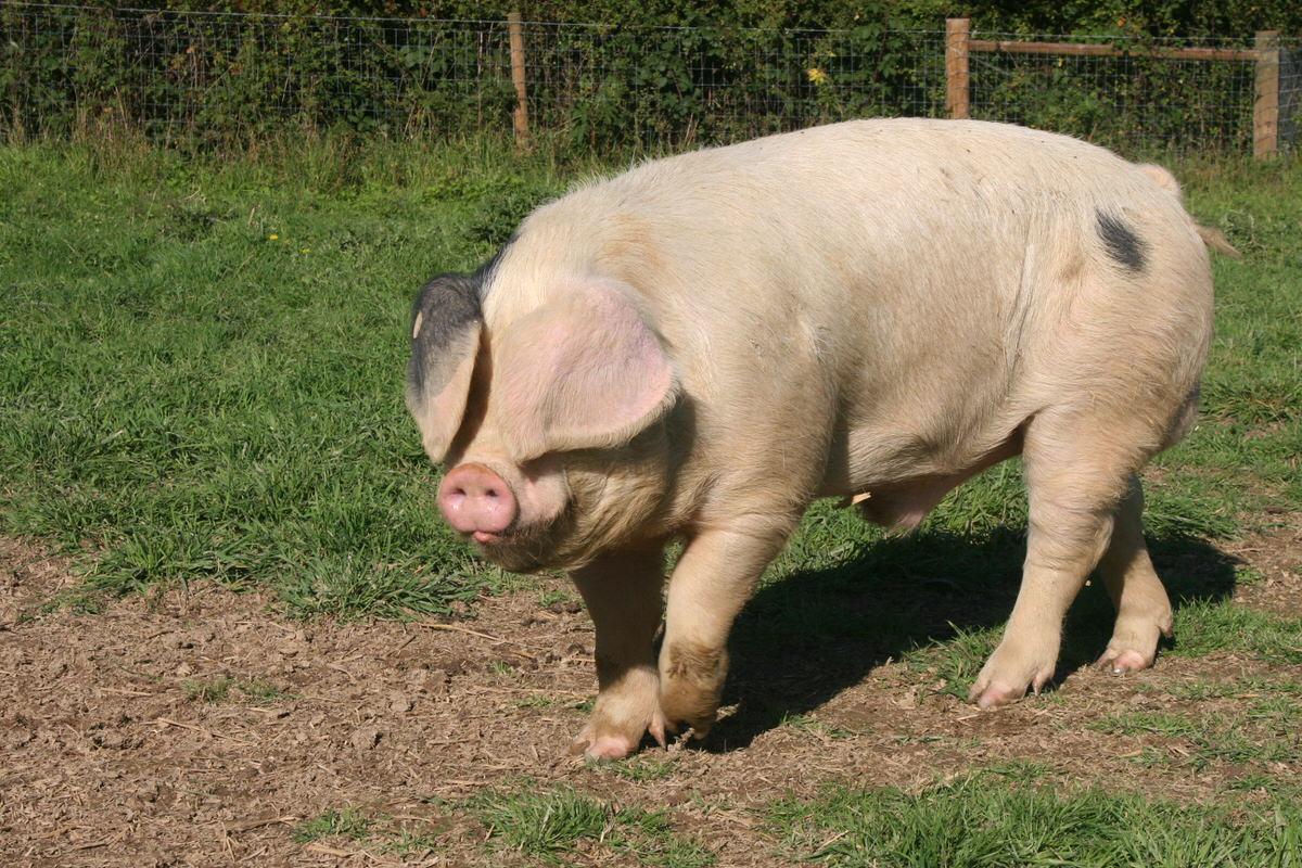 эстонская беконная порода свиней фото приготовить торт